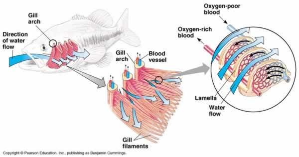An essay comparing mechanisms for the absorption and for Arches related to breathing gills in fish